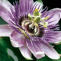 histPPpassionflower